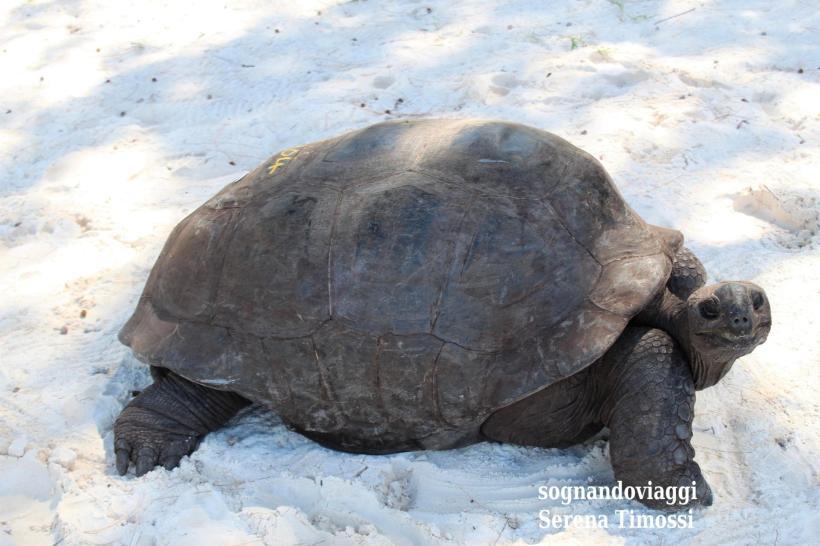 tartarughe curieuse seychelles