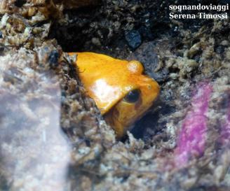 Una minuscola rana