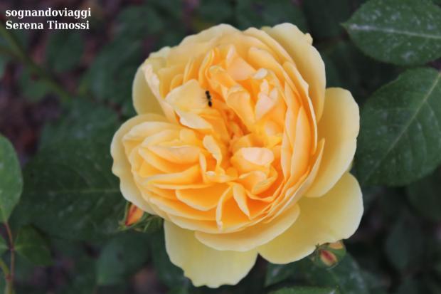 euroflora 2018 roseto