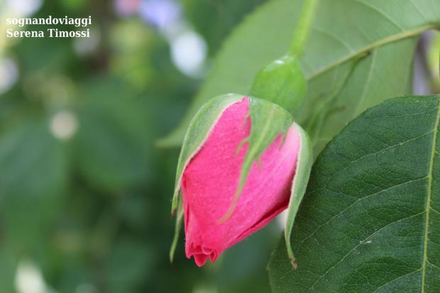 rosa euroflora nervi