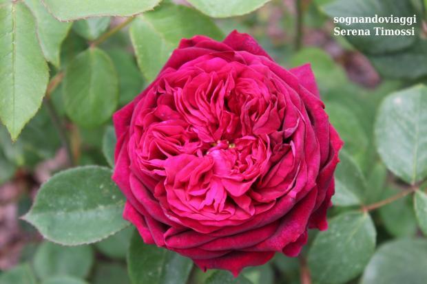 rosa rossa euroflora