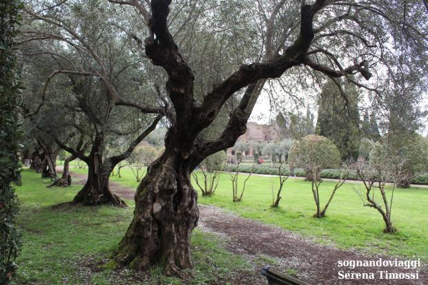 villa adriana ulivi