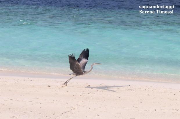 airone maldive fihalhohi