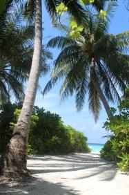 Maldive - Le palme da cocco