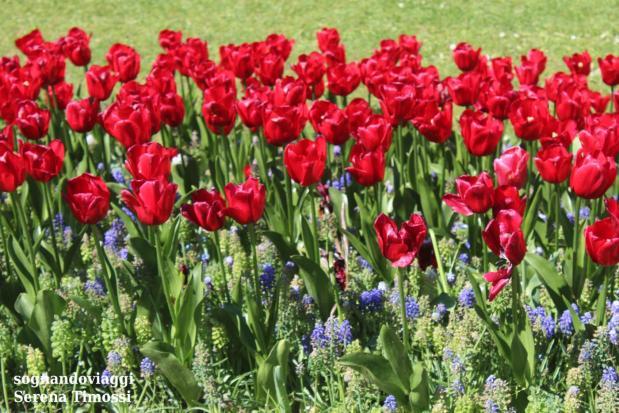 fioritura tulipani sigurtà